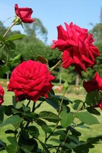 Punaisia ruusuja Helsinki